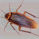 Common Cockroach